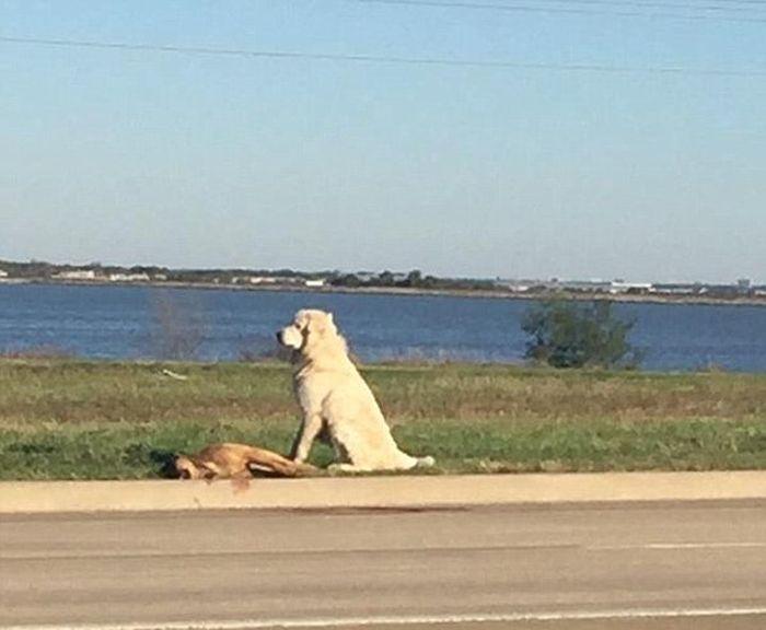 Собака охраняла тело сбитого друга (4 фото)