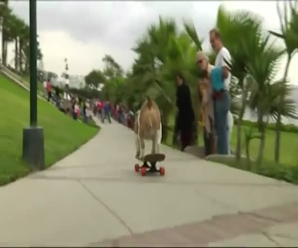 Бульдог-скейтбордист установил новый рекорд «Книги рекордов Гиннесса»