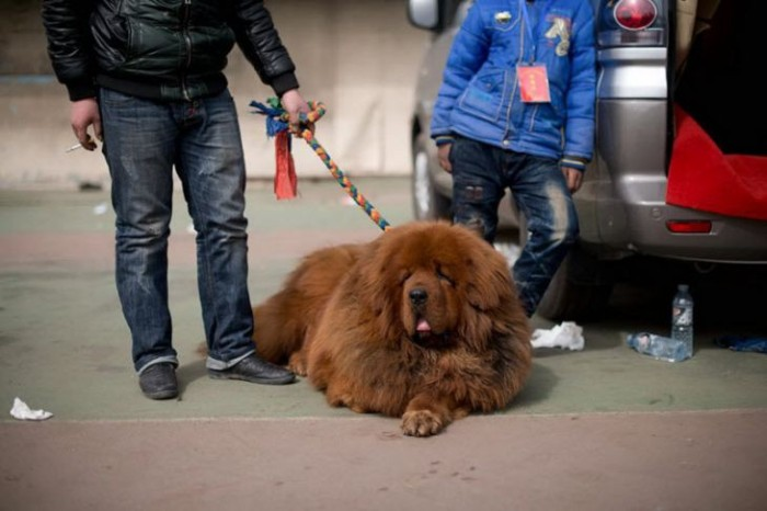 Тибетский мастиф - собака для миллионеров (9 фото)