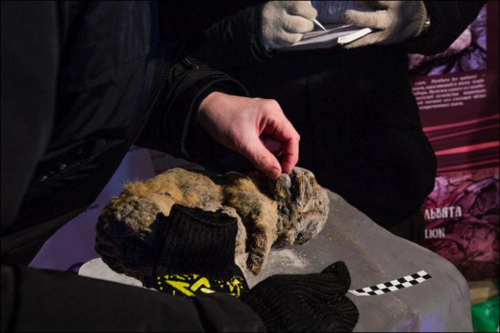 В Якутии обнаружили останки детенышей пещерного льва (14 фото)