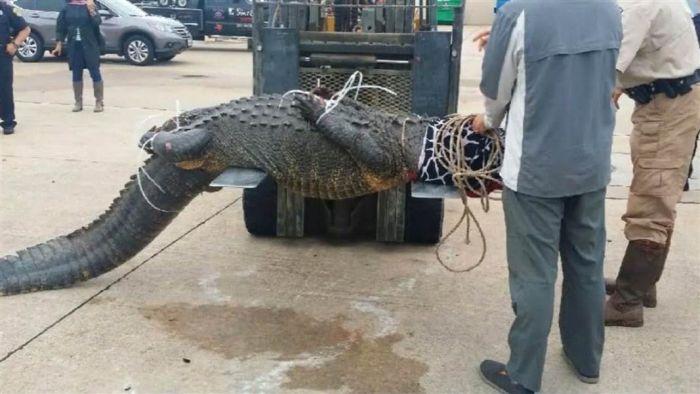 В США женщина поймала аллигатора, вышедшего на улицы города (4 фото)
