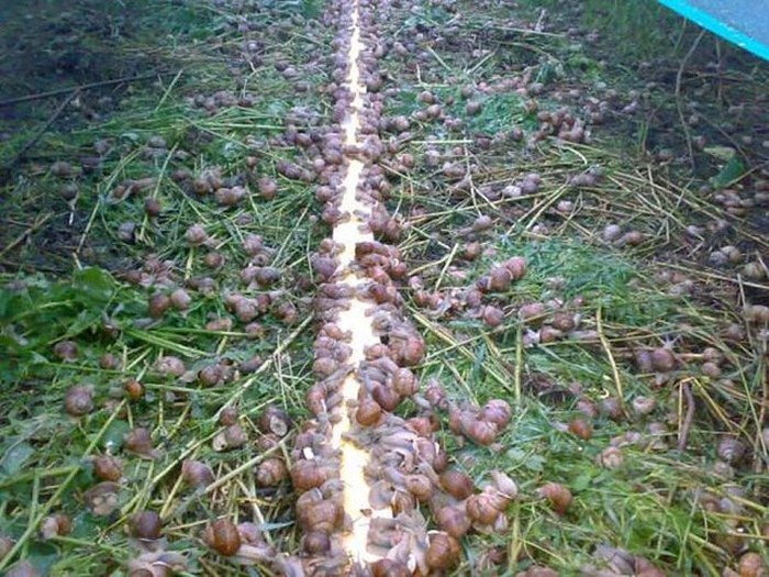 Как в Европе выращивают виноградных улиток для последующего употребления в пищу (15 фото)