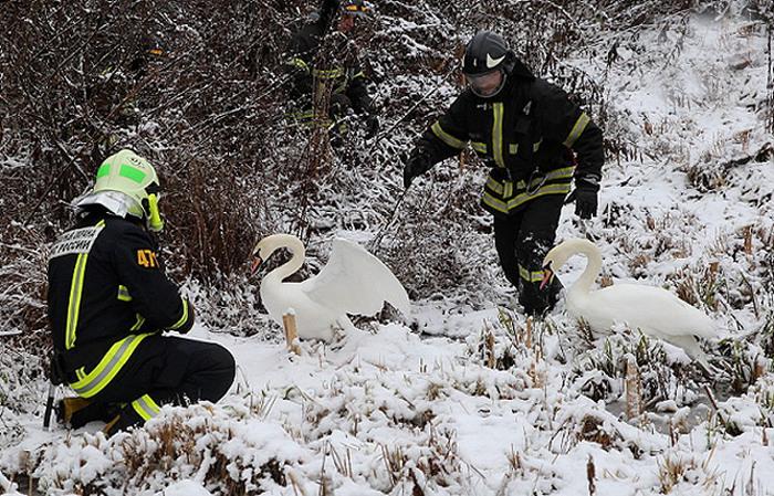 В Москве спасли пару лебедей, которая не смогла улететь в теплые края (4 фото)