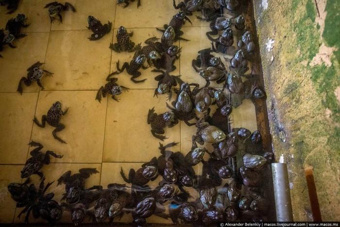 Как выращивают лягушек на специальной ферме в Сингапуре (15 фото)