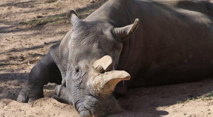В США умер один из четырех остававшихся на земле северных белых носорогов (5 фото)