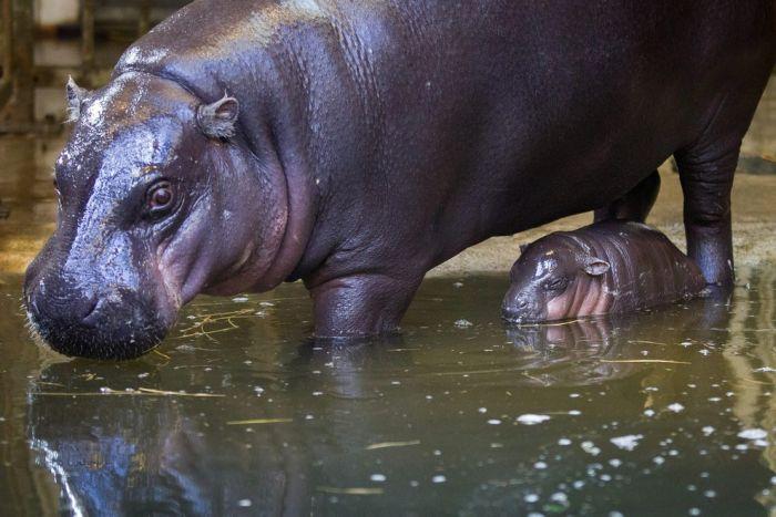 В зоопарке Бристоля показали 3-недельного детеныша карликового бегемота (17 фото)