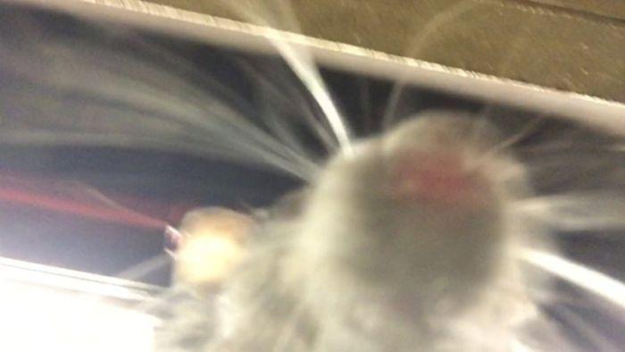В метро Нью-Йорка крыса сделала селфи (фото + видео)