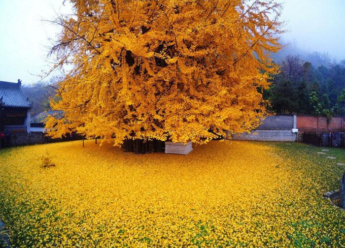Море желтых листьев дерева гинкго во дворе буддийского храма в Китае (5 фото)