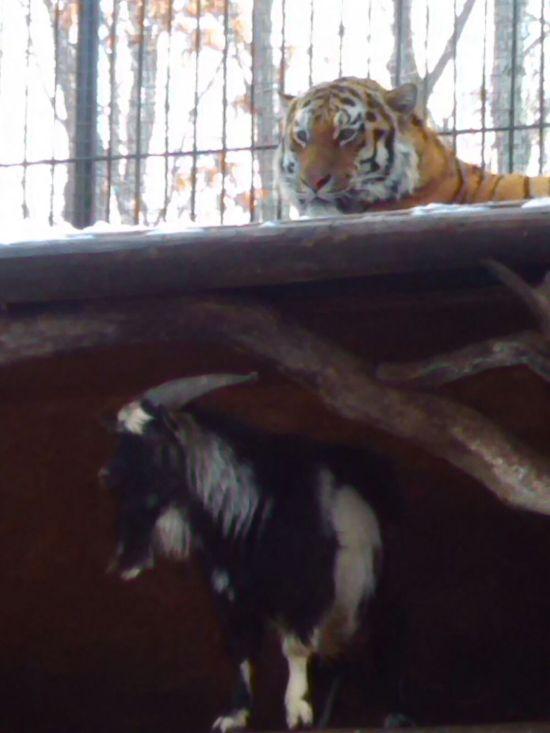 В Приморском сафари-парке храбрый козел, отданный на съедение тигру, сумел постоять за себя (4 фото)
