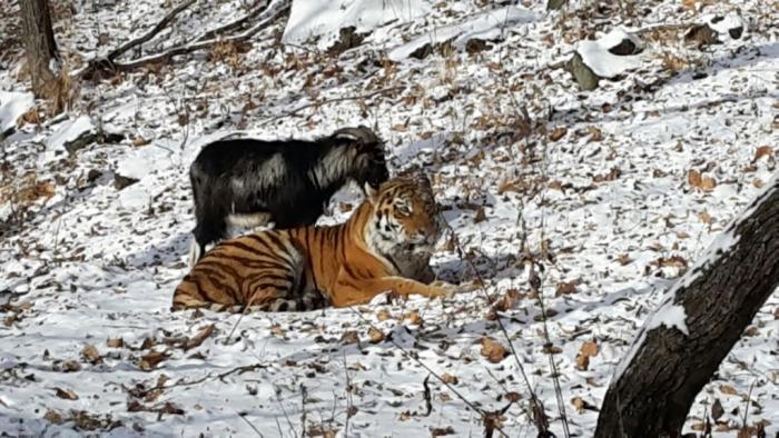 Тигр Амур стал защищать своего друга - козла Тимура (6 фото + видео)