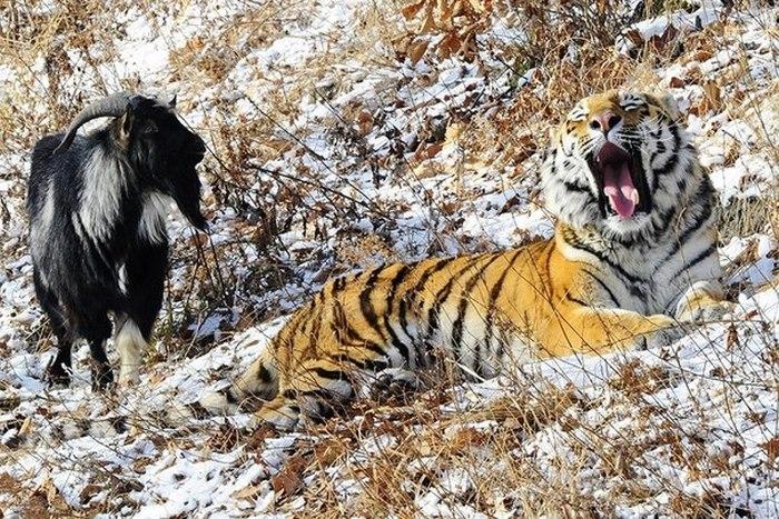 Тигр Амур недоволен расселением с козлом Тимуром (5 фото)