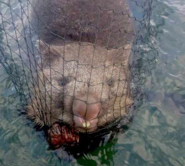 Австралийские рыбаки спасли тонущего вомбата (3 фото)