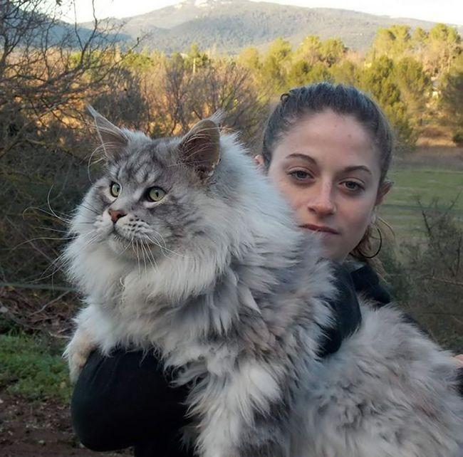 Мейн-кун - самые крупные домашние кошки в мире (29 фото)