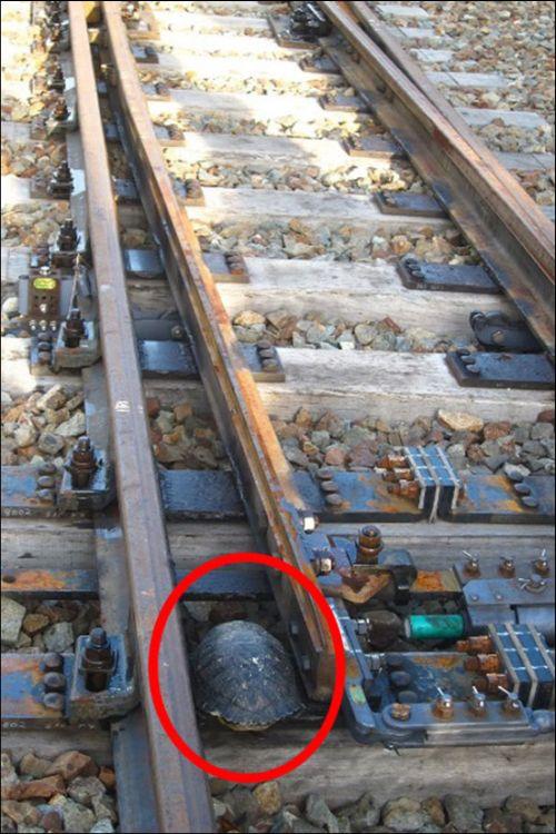 В Японии железнодорожные пути оборудовали тоннелями для черепах (3 фото)