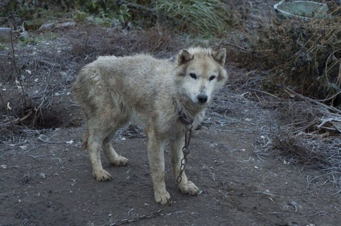 Во Владимирской области зоозащитники спасли 20 хаски из «адского питомника» (13 фото)
