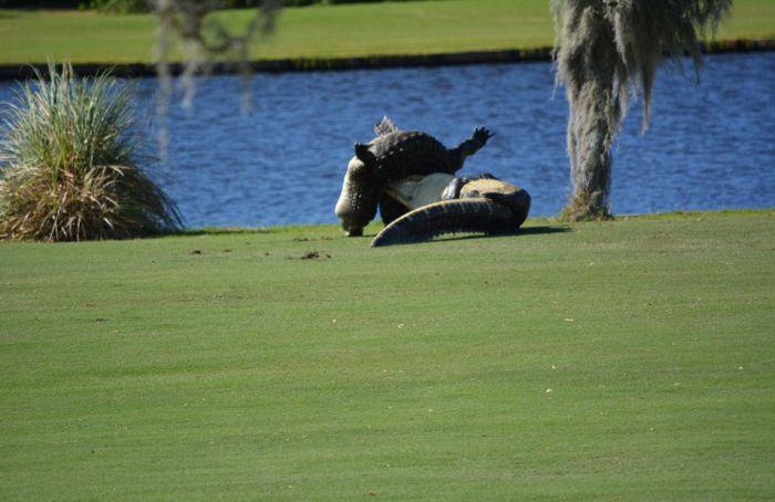 Во Флориде два аллигатора подрались на поле для гольфа на глазах у изумленных игроков (7 фото)