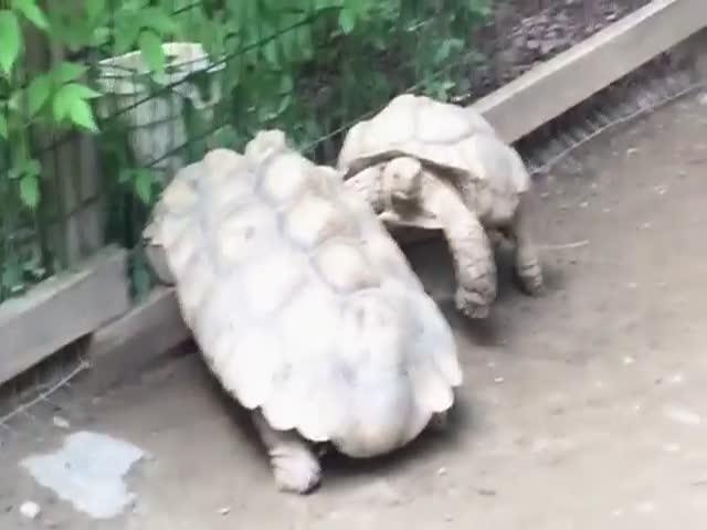 Черепаха приходит на помощь другу