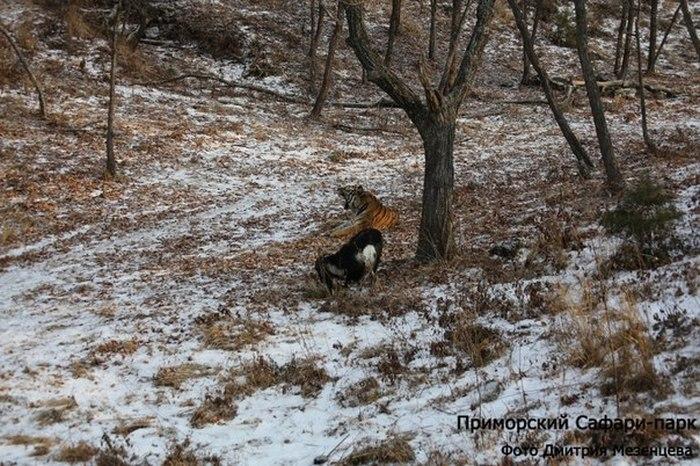 В Приморском сафари-парке у козла Тимура появилась своя «спальня» рядом с вольером тигра Амура (4 фото)