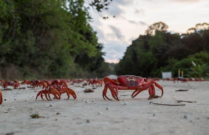Миграция 120 миллионов крабов на острове Рождества (11 фото)