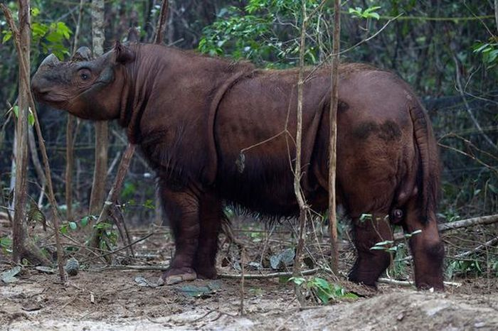 Фото редкого суматранского носорога (3 фото)