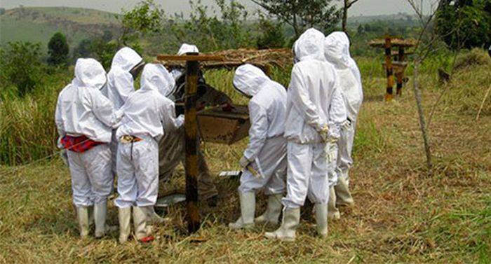 Защита полей африканских фермеров от набегов слонов (5 фото)