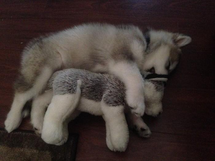 Собака и ее любимая игрушка (2 фото)