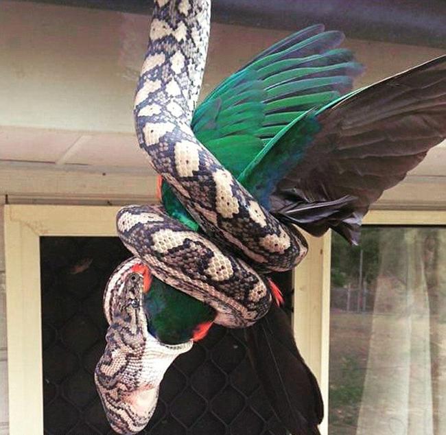 Обычное дело в Австралии: питон поедает попугая (4 фото)