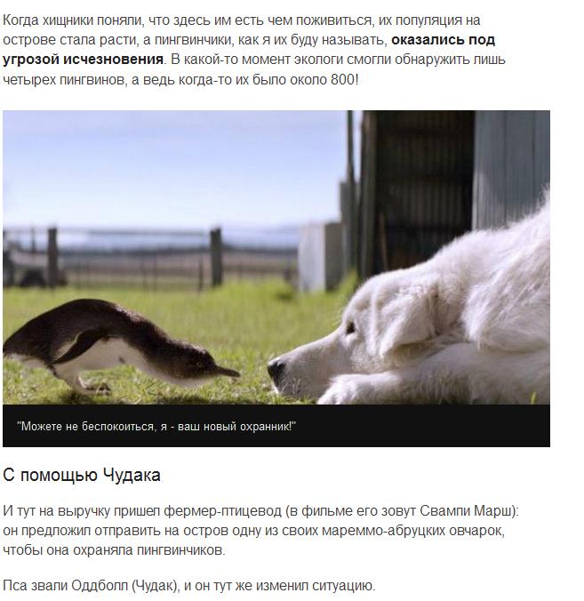 Cобаки спасли карликовых пингвинов от лис (6 скриншотов)