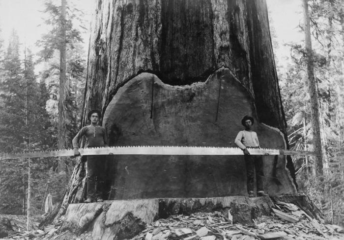Американские лесорубы конца XIX - начала XX века (15 фото)