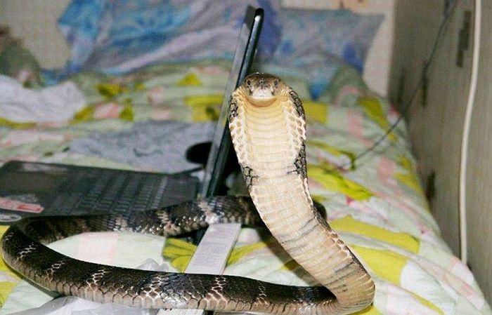 21-летний заводчик ядовитых змей из Тольятти умер от укуса королевской кобры (5 фото)