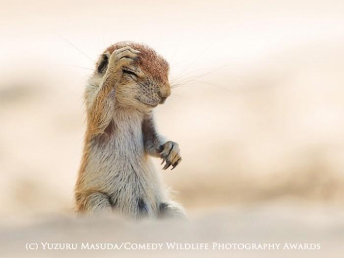 Лучшие снимки премии «Смешная Дикая Жизнь» (19 фото)