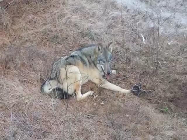 Охотники спасли волка