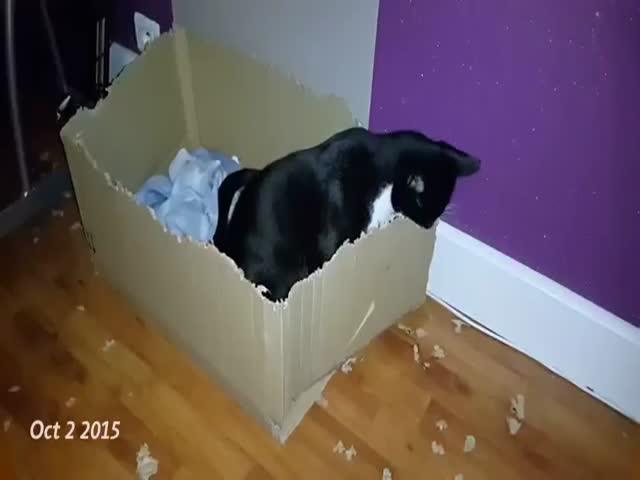Кот, которому нравится уничтожать картонные коробки