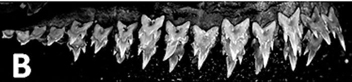 В Тихом океане найдена акула-ниндзя (7 фото)