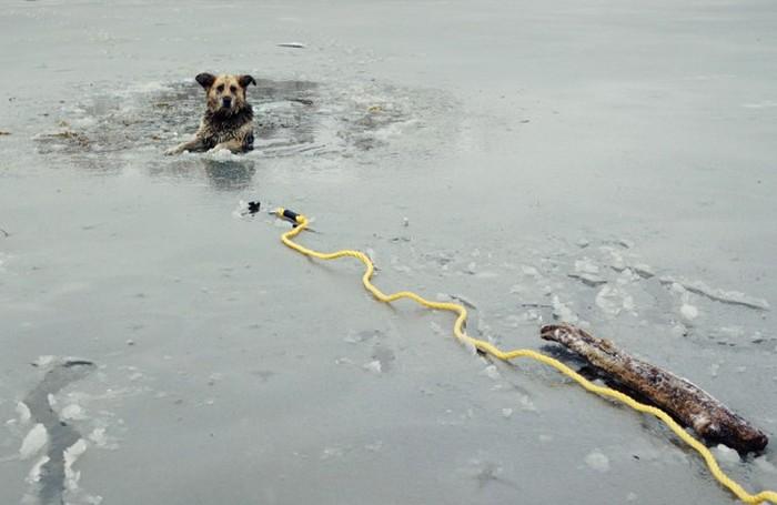 Спасение собаки, угодившей в ледяную ловушку (8 фото)