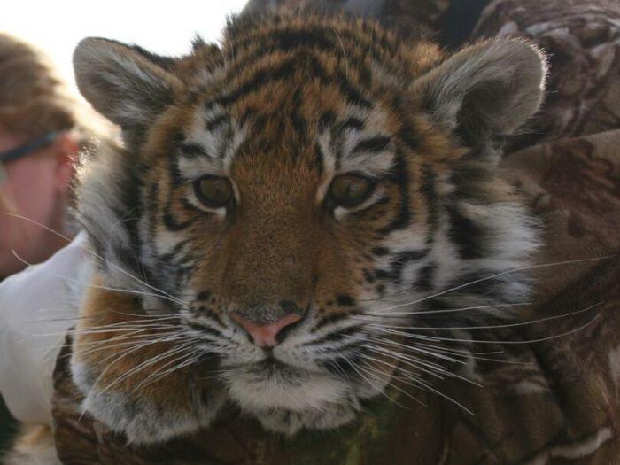 В Приморье истощенный тигренок вышел к людям (4 фото)