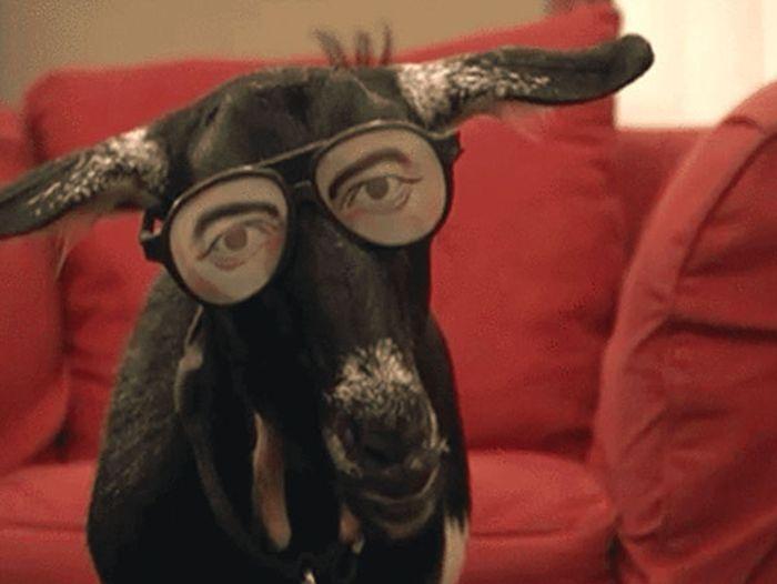 Непоседливые козы (15 гифок)