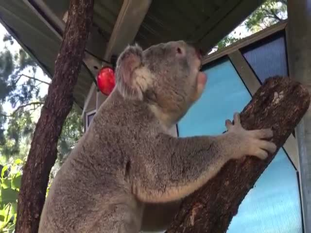 Рев коалы в брачный период