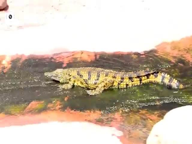 Катание маленького крокодила