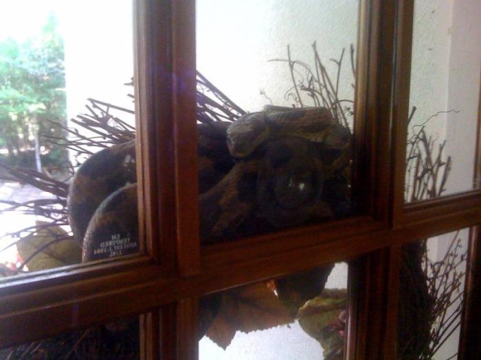На пороге собственного дома мужчина был укушен змеей прямо в лысину (5 фото)