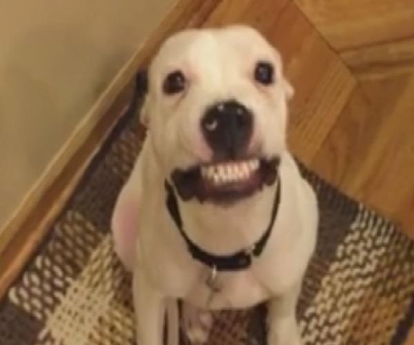 Собака «улыбается» по команде хозяйки