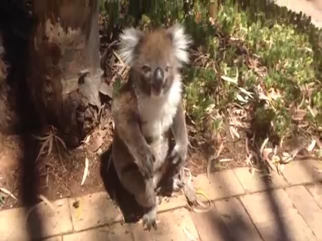 Коала кричит из-за того, что ее прогнали с насиженного дерева