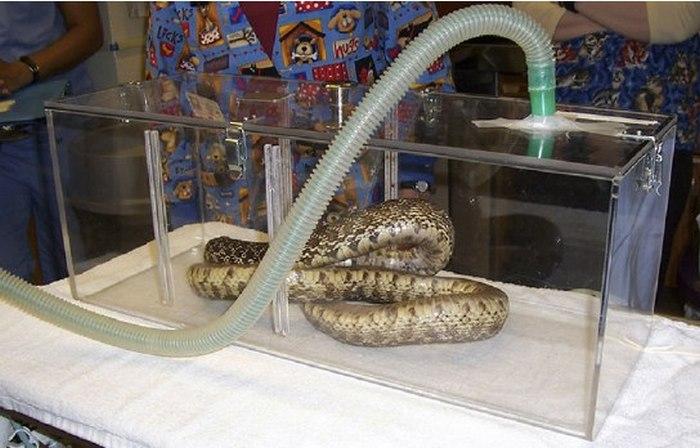 Анестезия для змей (10 фото)