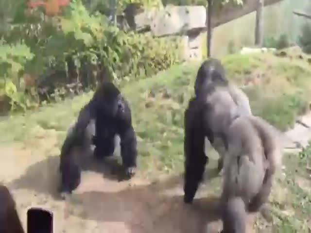 Драка горилл в зоопарке