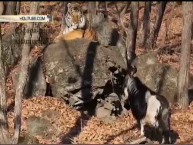 Между тигром Амуром и козлом Тимуром произошел первый конфликт