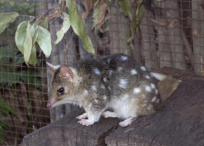 Крапчатая сумчатая куница - милейшее создание из Тасмании (16 фото)