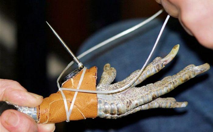 Металлические шпоры - холодное оружие петушиных боев (10 фото)