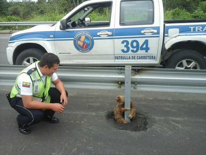 Спасение маленького ленивца (4 фото)
