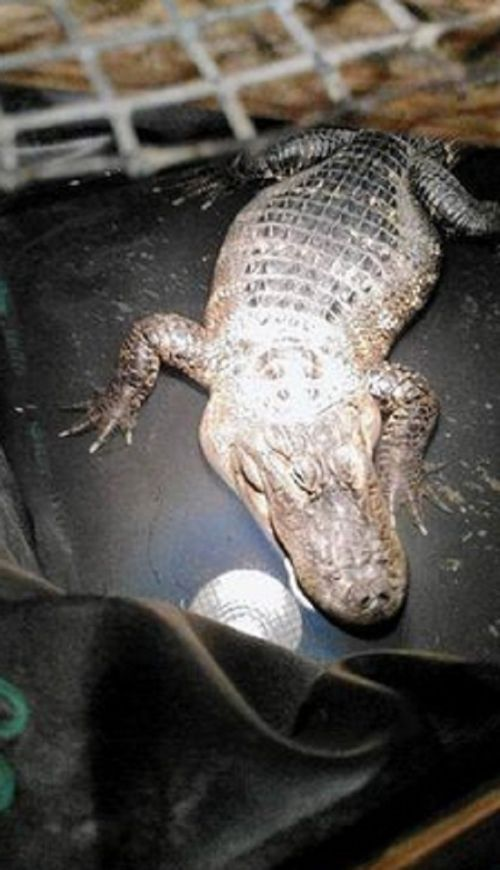 В США сантехник обнаружил аллигатора, которого на протяжении 26 лет прятали в подвале дома (2 фото)