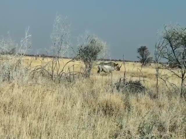 Носорог атаковал автомобиль
